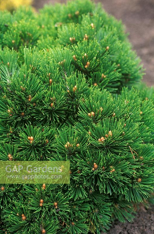 Pinus heldreichii Smidtii - close up of compact conifer with green foliage