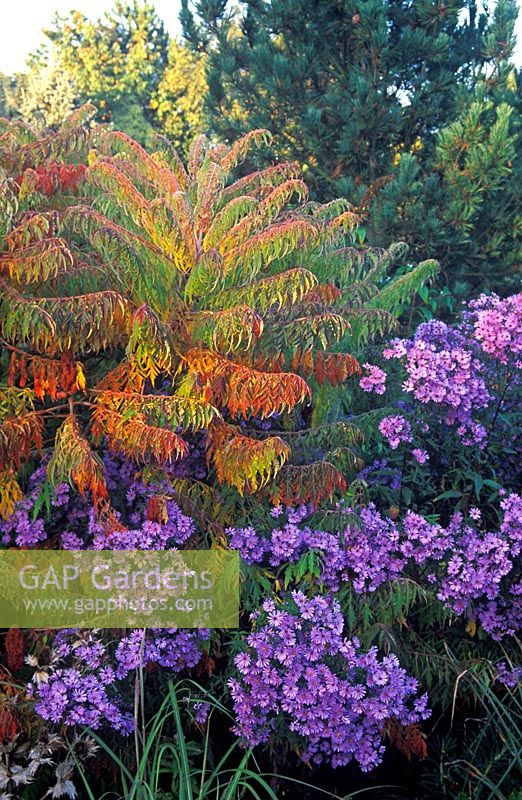 Rhus typhina Dissecta and Aster 'Little Carlow' in autumn border