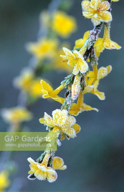 Jasminum nudiflorum in frost - Winter jasmin