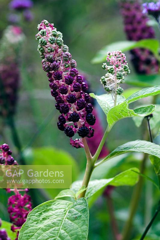 Phytolacca americana - berries in August