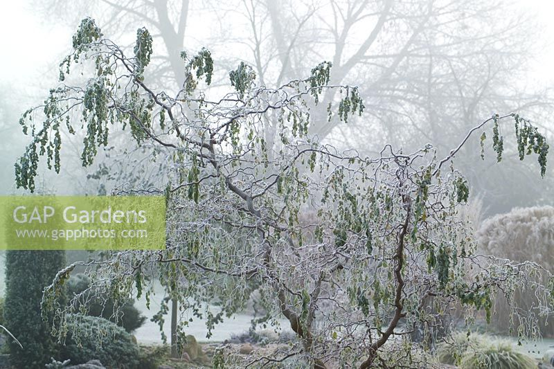 Robinia Pseudoacacia Twisty Baby Syn Lace Lady On A Frosty Morning