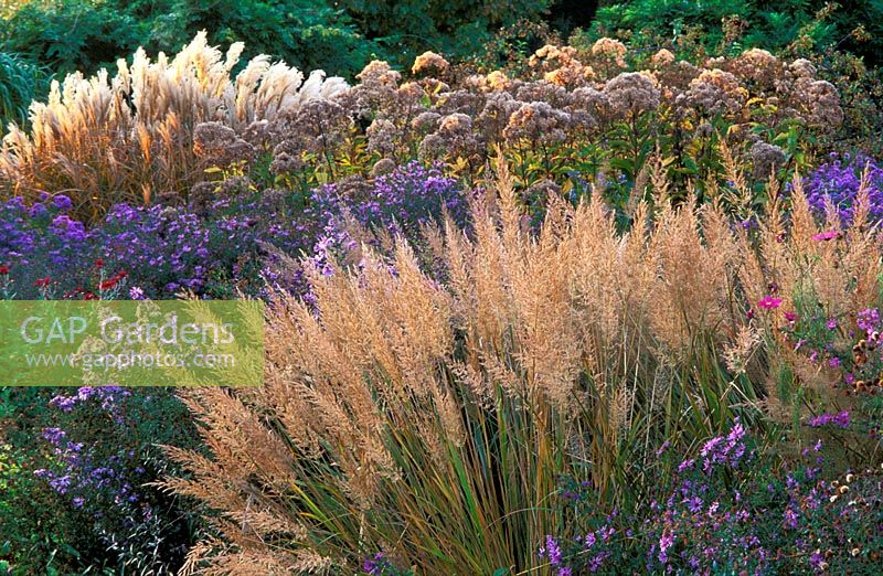 Border with Calamagrostis brachytricha, Asters, Miscanthus and Eupatorium seedheads in Autumn.