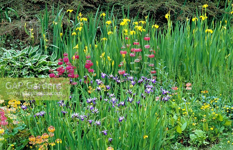 bog garden with iris sibirica hostas and candelabra primulas - Bog Garden