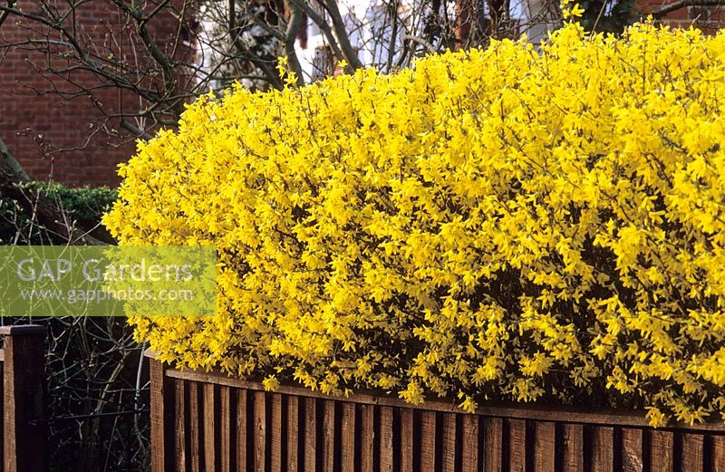 Forsythia hedge in a town front garden