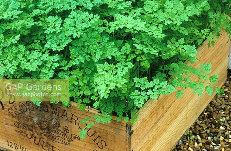 Anthriscus cerefolium - Chervil planted in old wooden wine box.