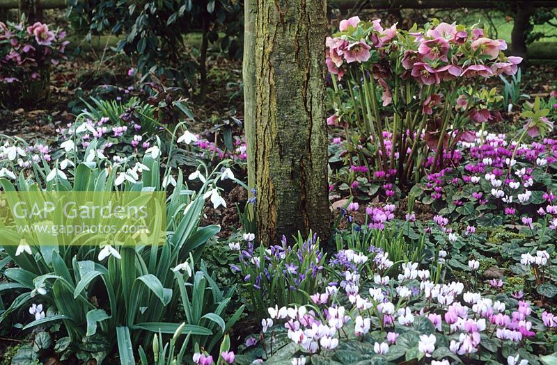 Woodland border in spring with Cyclamen coum, Helleborus and Snowdrops - Galanthus
