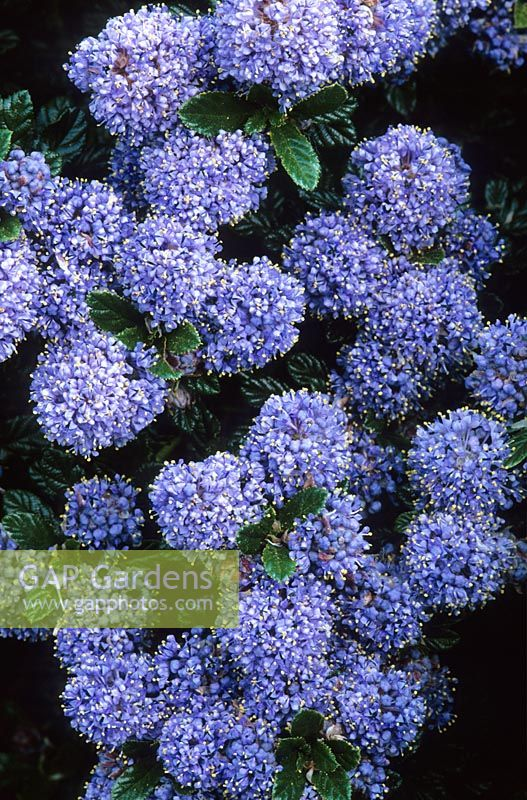 gap gardens ceanothus 39 blue mound 39 californian lilac. Black Bedroom Furniture Sets. Home Design Ideas