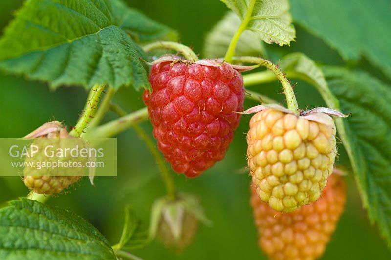 Raspberry 'Autumn Bliss' - Rubus idaeus