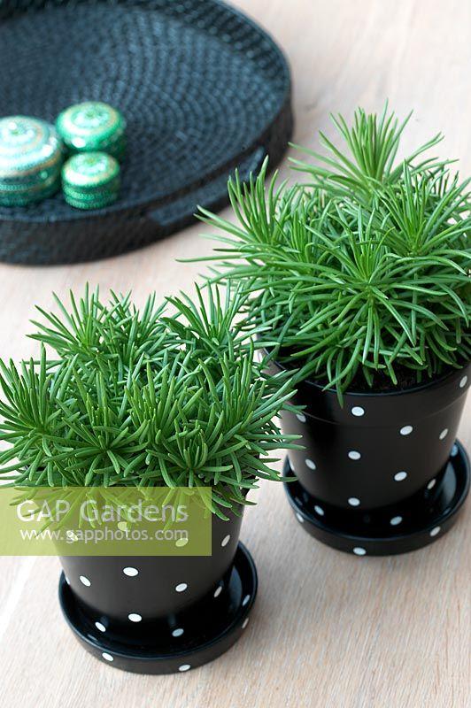 gap gardens senecio 39 himalaya 39 image no 0044507. Black Bedroom Furniture Sets. Home Design Ideas