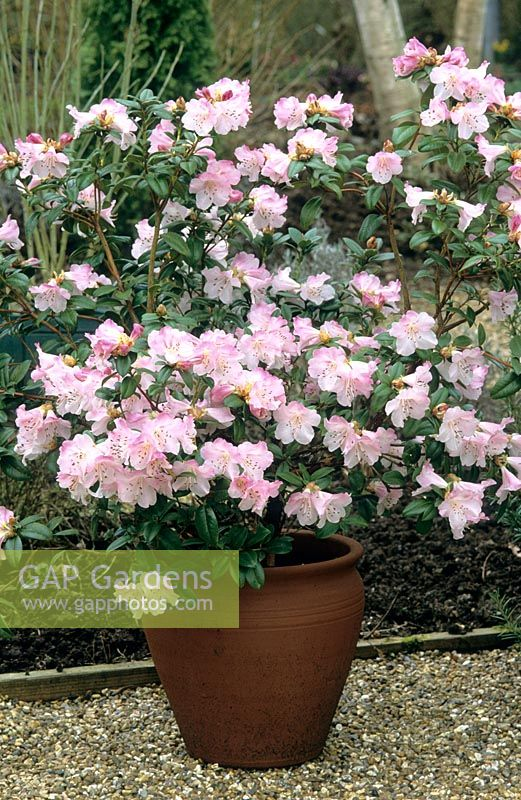 gap gardens rhododendron cilpinense in a pot image no. Black Bedroom Furniture Sets. Home Design Ideas