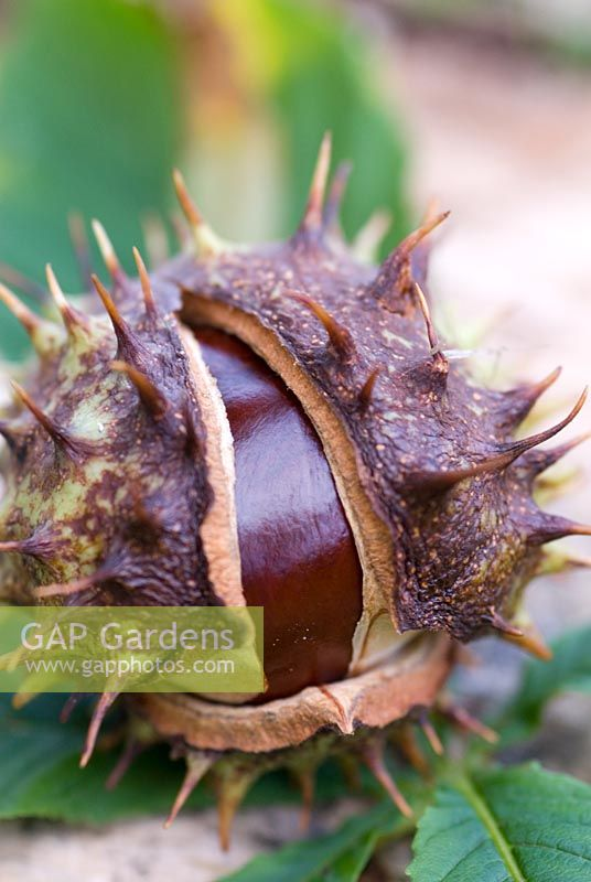 A conker in its spiky case from an Aesculus hippocastanum - Common Horse Chestnut in autumn