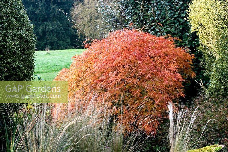 Acer Palmatum Orangeola Garden Design Ideas