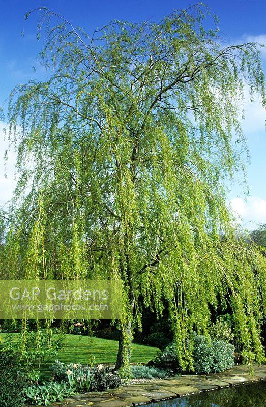 gap gardens salix x sepulcralis 39 chrysocoma 39 syn s alba 39 tristis 39 weeping willow at ketley. Black Bedroom Furniture Sets. Home Design Ideas