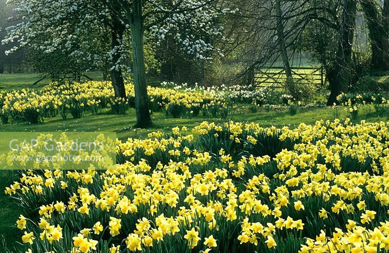 Spring garden with Narcissus - Daffodils and blossom in the orchard meadow at Great Dixter