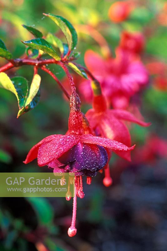 Fuchsia 'Dollar Princess' - Lady's Eardrop