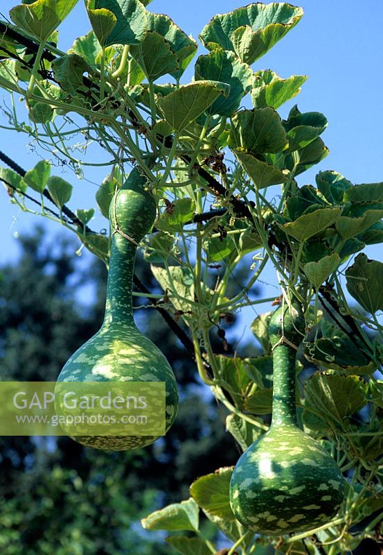 Indonesian bottle Gourd growing on arch - Bonterra Vineyard. USA