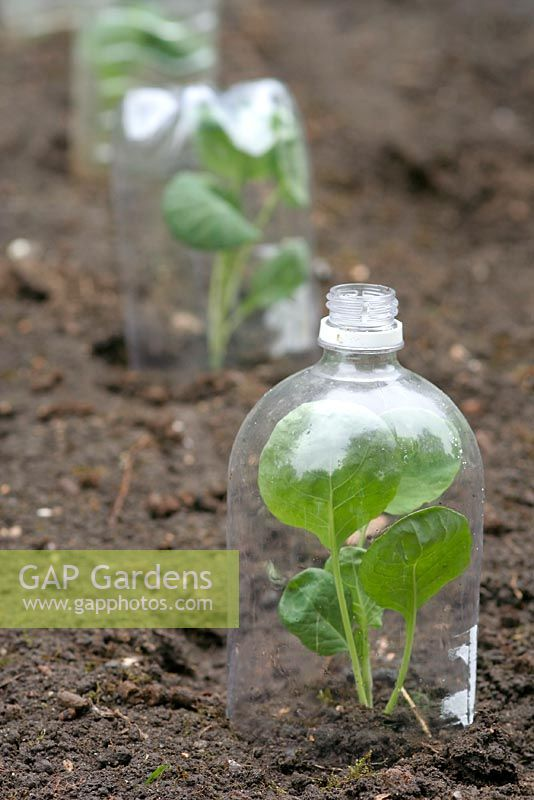 Plastic bottles recycled as mini cloches