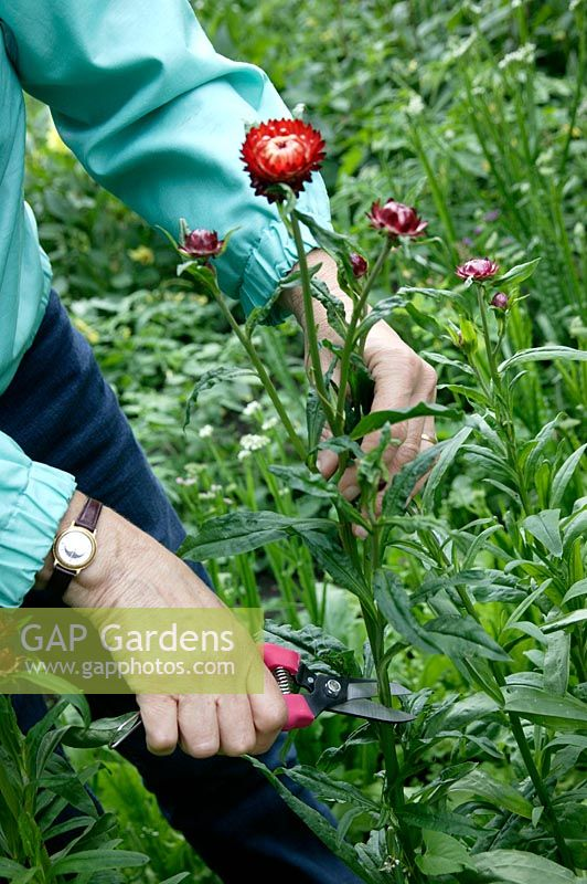 Gap gardens harvesting helichrysum straw flower everlasting harvesting helichrysum straw flower everlasting flower for drying mightylinksfo