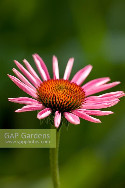 Echinacea purpurea - seedling from 'Augustkonigin'