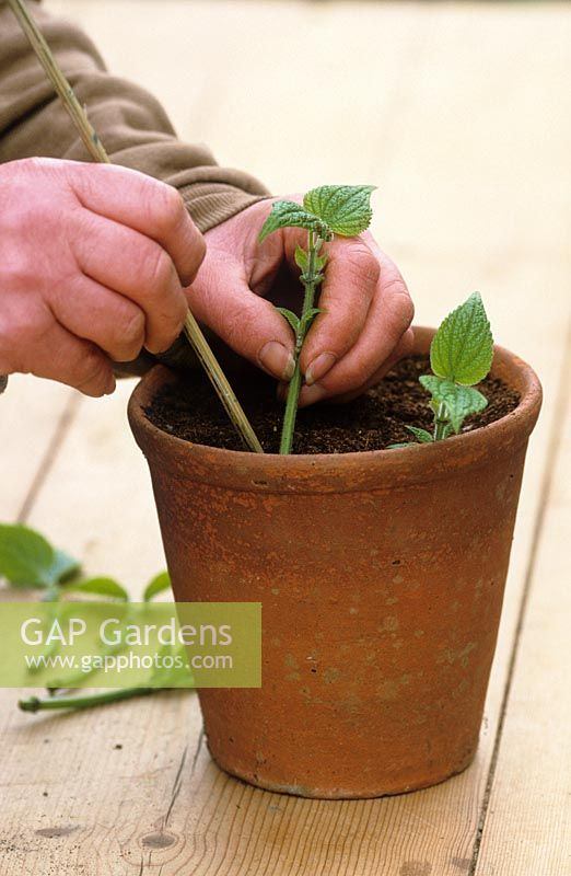 Taking cuttings from tender plants (Salvia guaranitica) Planting cuttings round edge of pot using cane to make small hole - Demonstrated by Carol Klein