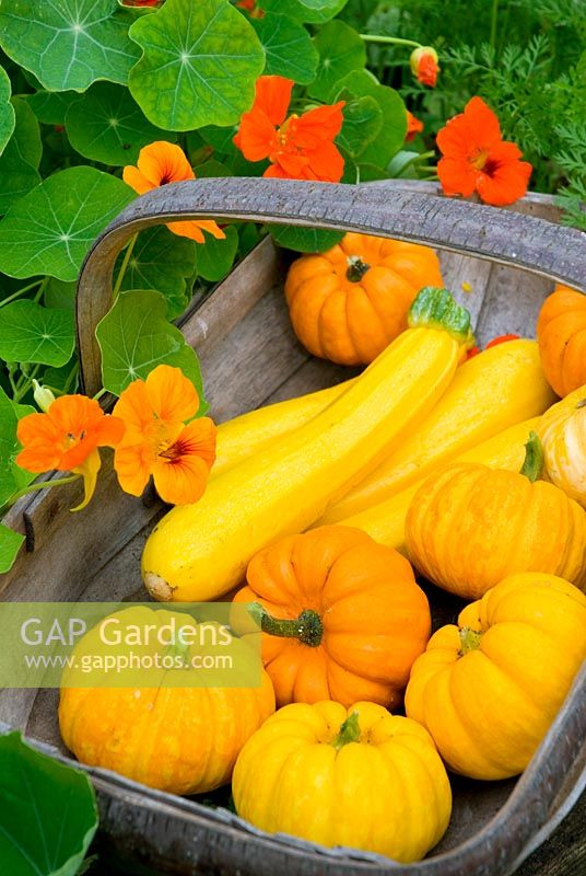 Trug of yellow Courgettes 'Gold Rush' and baby Squash just harvested in vegetable garden with Tropaeolum majus