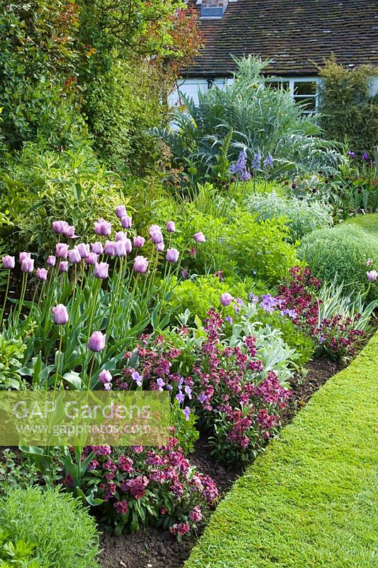 Curving spring border at Eastgrove Cottage with Tulipa 'Bleu Aimable' with Erysimum 'Bloomsy Baby Purple' (wallflower) and Viola cornuta in the foreground