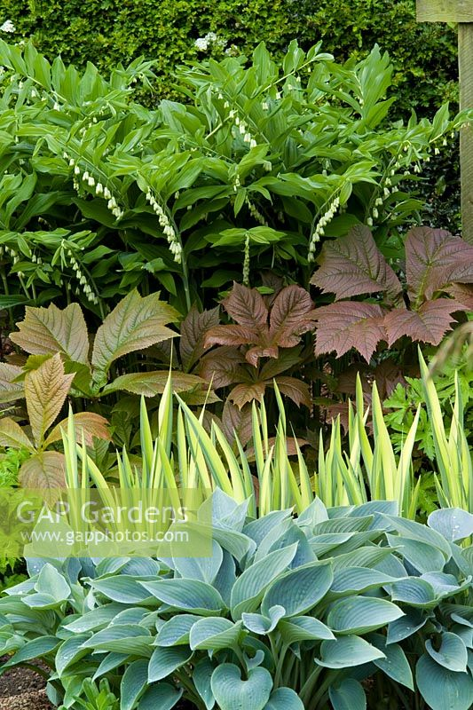 Spring border at Eastgrove Cottage with contrasting foliage shapes and colours. Hosta 'Halcyon', Rodgersia podophylla, Iris pseudacorus 'Variegata' and Polygonatum hybridum syn. P. multiflorum (Solomon's seal)