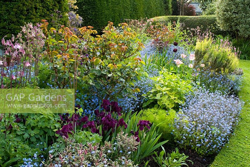 Spring border at Eastgrove Cottage with Myosotis, Iris 'Cherry Gardens', Salvia officinalis 'Tricolor' and Aquilegias