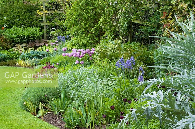 Curving border and lawn with neat, sharp edges at Eastgrove Cottage in spring. Tulipa 'Bleu Aimable', Tulipa 'Queen of Night', Camassia leictlinii Caerulea Group,  Wallflower 'Bloomsy Baby Purple', Cynara cardunculus