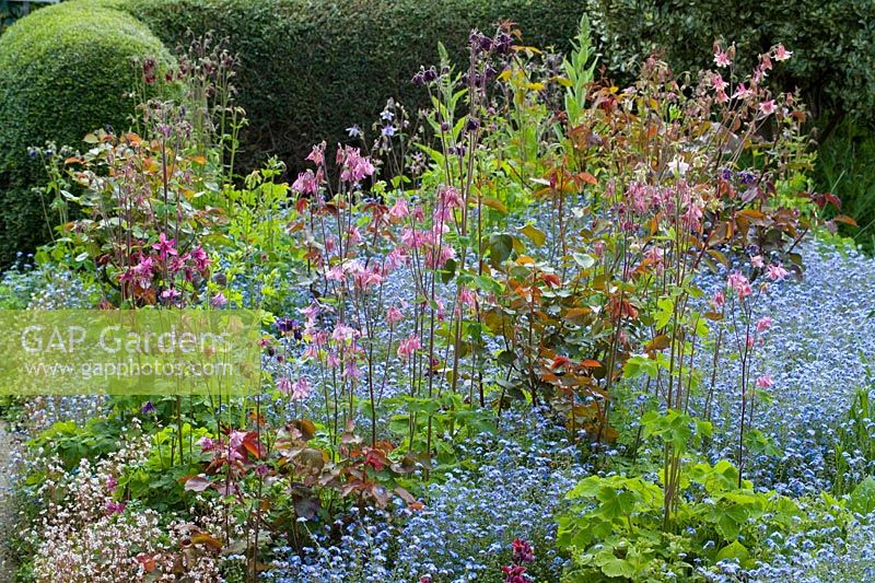 Spring border at Eastgrove Cottage with Myosotis - Forget-me-nots and Aquilegias - Columbines