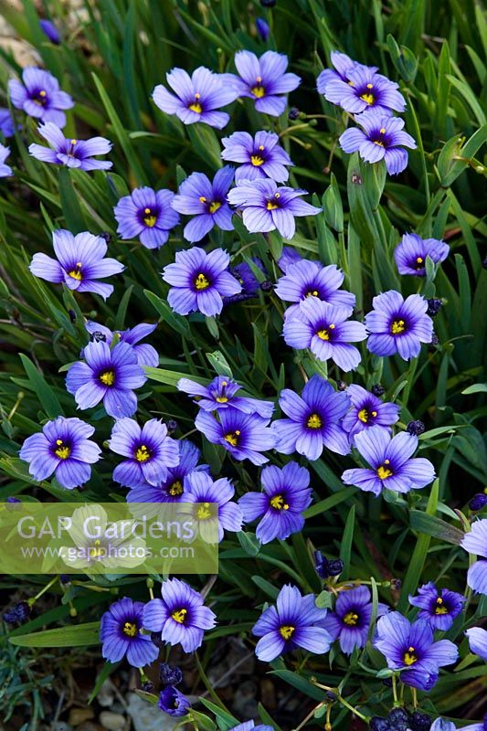 Sisyrinchium 'Californian Skies'