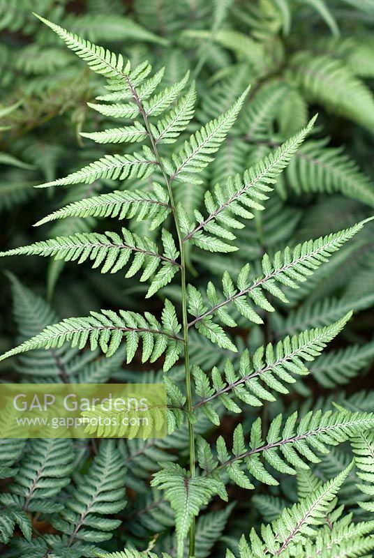 Athyrium niponicum var pictum 'Wildwood Twist' - Japanese Painted Fern
