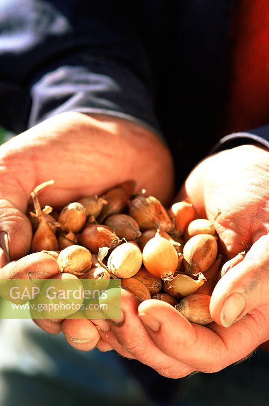 Man holding shallot sets ready to plant - Spring