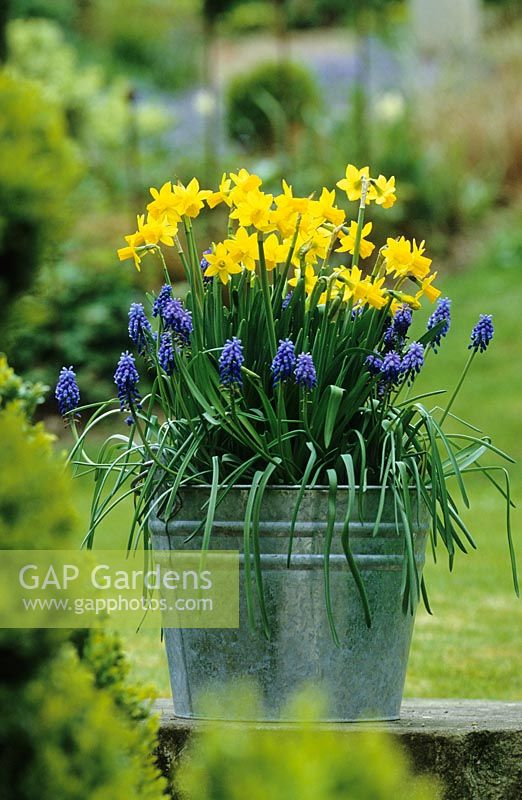 Spring container with Narcissus 'Tete-a-tete' - Miniature Daffodils  and Muscari armeniacum - Grape Hyacinths planted in a galvanised bucket