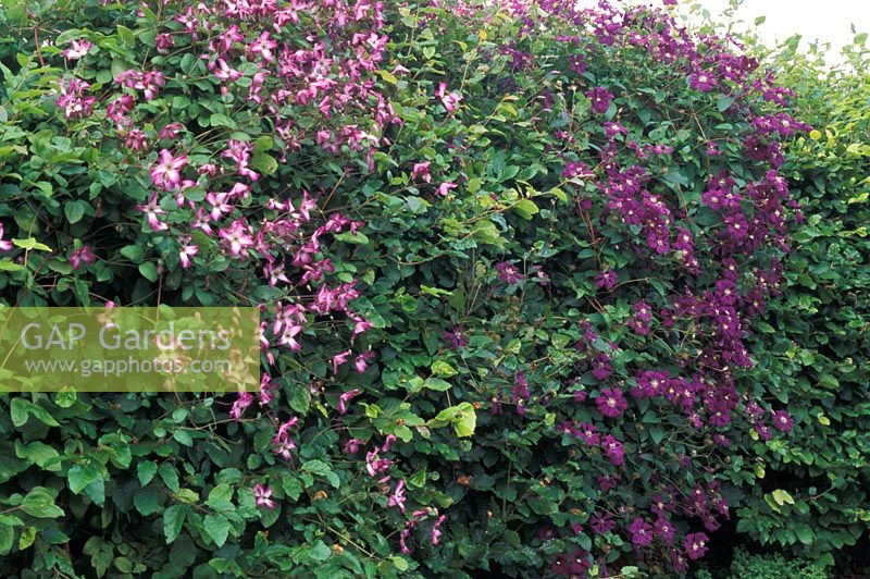 Clematis viticella 'Minuet' and Clematis viticella 'Etoile Violette' growing through Fagus hedge