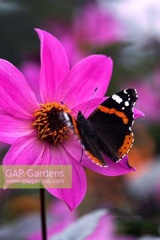 Dahlia 'Magenta Star' with Red Admiral Butterfly