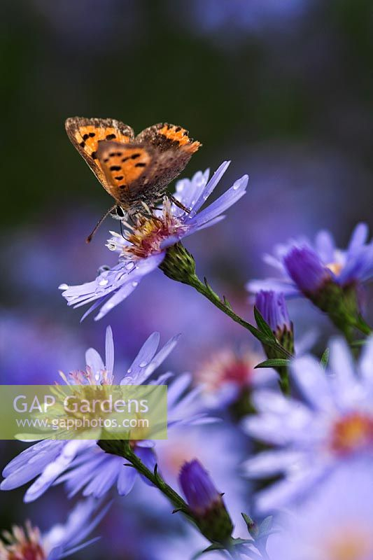 Small Copper Butterfly on Aster 'Little Carlow'