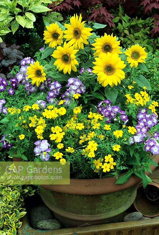 Summer terracotta pot with seed raised annuals forming a yellow and blue theme. Dwarf Helianthus - Sunflowers, Phlox 'Bobby Sox' and Tagetes 'Lemon Gem'