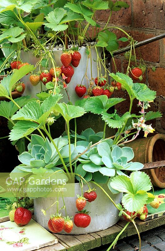 Strawberries grown in recycled saucepans with Echeverias, free from slug damage