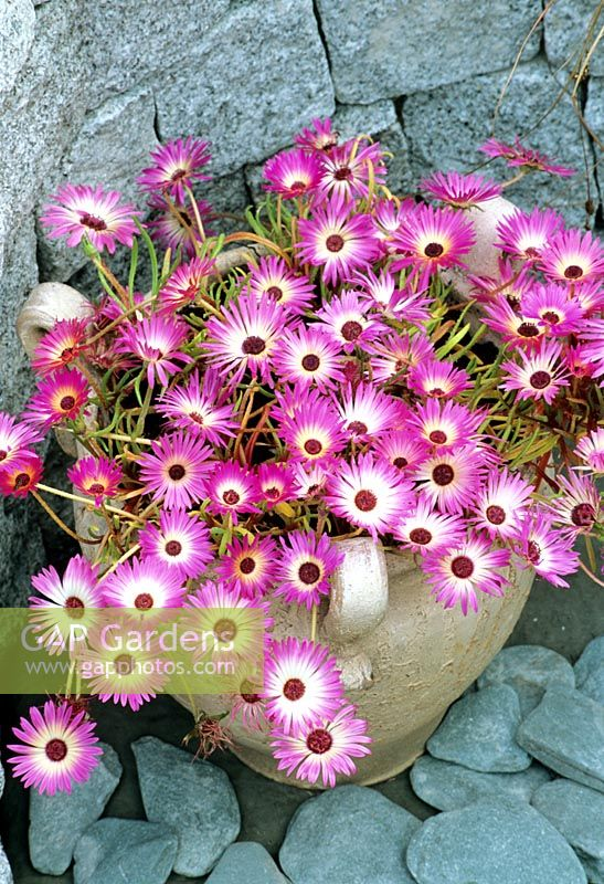Drought tolerant, sun loving seed raised daisy, Mesembryanthemum 'Gelato Pink' growing in a three handled terracotta jar.