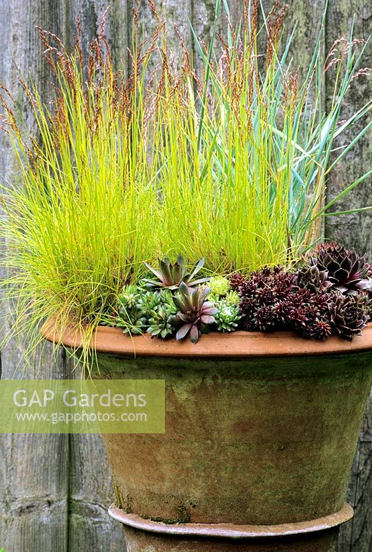 Sempervivums backed by Deschampsia 'Tatra Gold' and Elymus magellanicus in frost proof, terracotta pot from Whichford Pottery