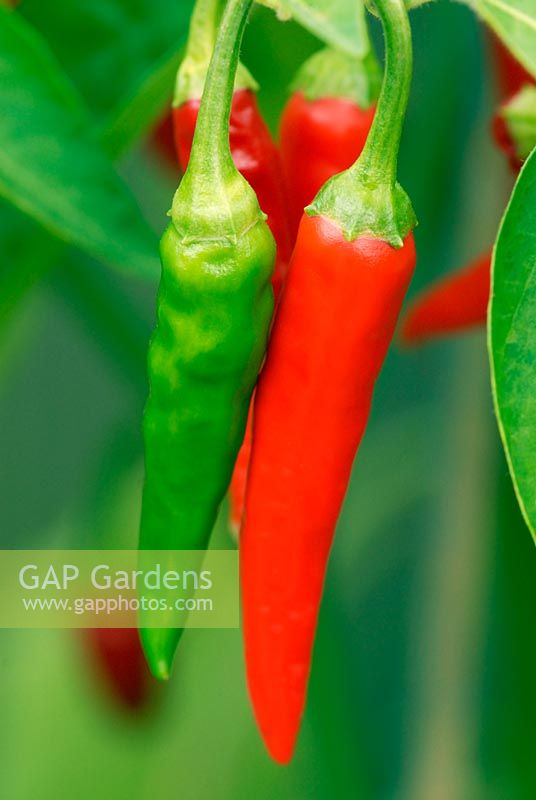 Capsicum 'Thai Dragon' - Chilli Pepper