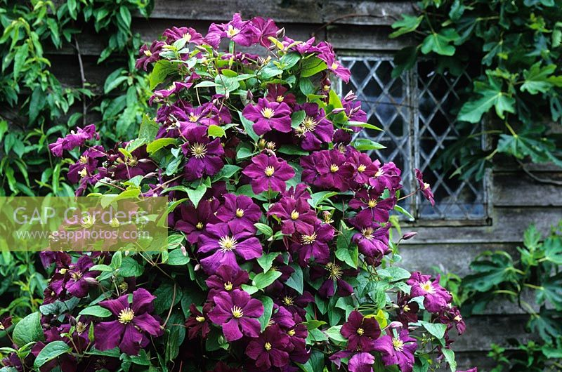 Clematis 'Etoile Violette' growing up a post in the Barn Garden at Great Dixter