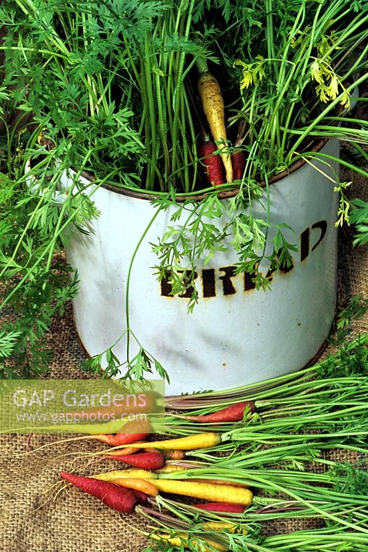 Four varieties of Daucus carota - Rainbow carrots growing in an old enamel bread bin