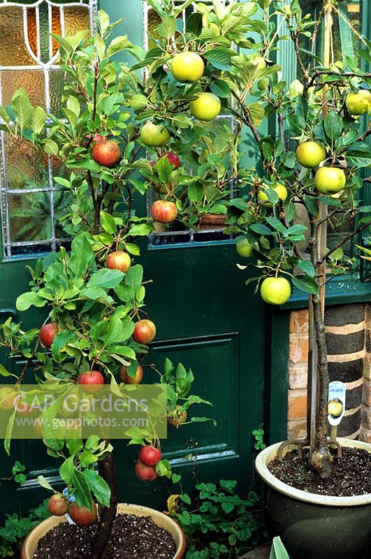 Six year old dwarf Malus 'Coronet' apple trees growing in glazed, terracotta containers with fruit ready to harvest