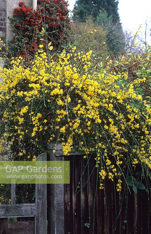 Jasminum nudiflorum growing over fence beside gate, November