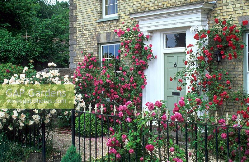 Shrub and climbing roses growing around front door and through railings of house - Harston & GAP Gardens - Shrub and climbing roses growing around front door and ...