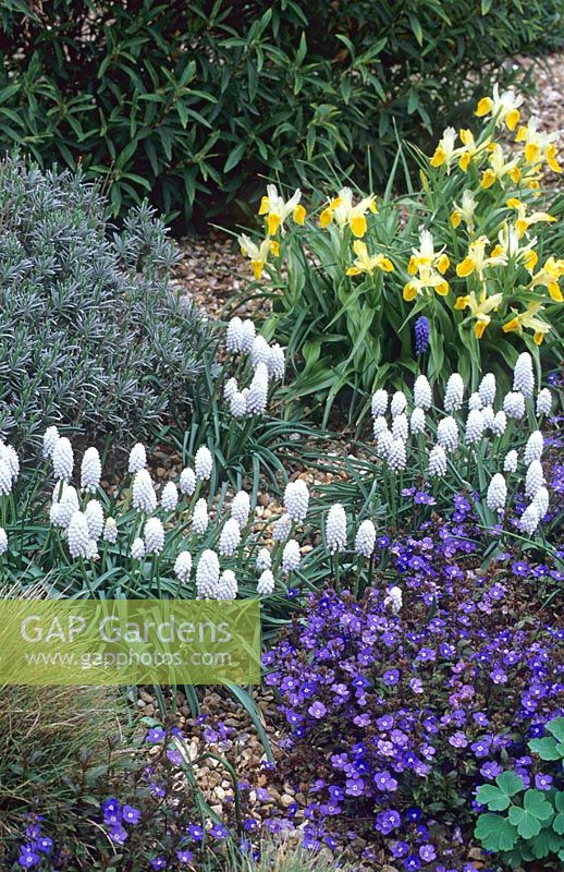 Muscari botryoides 'Album', Veronica peduncularis 'Georgia Blue' and Iris bucharica - Beth Chatto Gardens