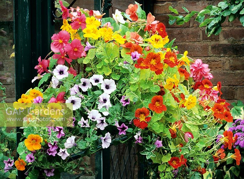 Step by step hanging basket. Step five - Mature basket with pendulous Begonias, supervigorous Surfinia Petunias and Tropaeolum majus 'Alaska Mixed' combine to form a waterfall of vibrant colours