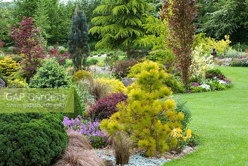 Contrasting shapes and colours of conifers, shrubs and trees in curving borders in John Massey's garden - Planting includes Pinus radiata 'Aurea', Fagus sylvatica 'Dawyck', Cedrus deodara, Ulmus minor 'Dampieri Aurea' and Abies lasiocarpa 'Compacta'